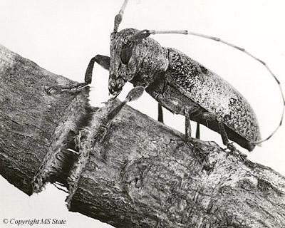 cerambycidae2